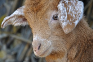 the other only cute goat photo on the entire internet, (c) 2011 Loredana Preston, used without permission